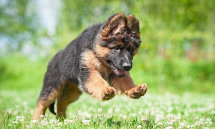 Choosing a German Shepherd