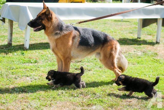 German Shepherd Choosing