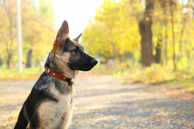 Boundary Training German shepherd