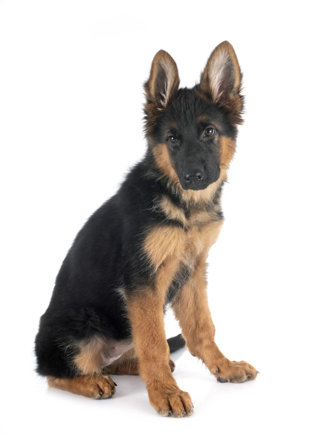Puppy German Shepherd Socialization Period