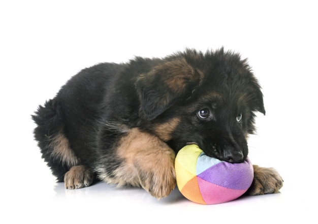 Neonatal period German Shepherd