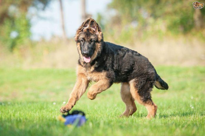 german shepherd ears stand up