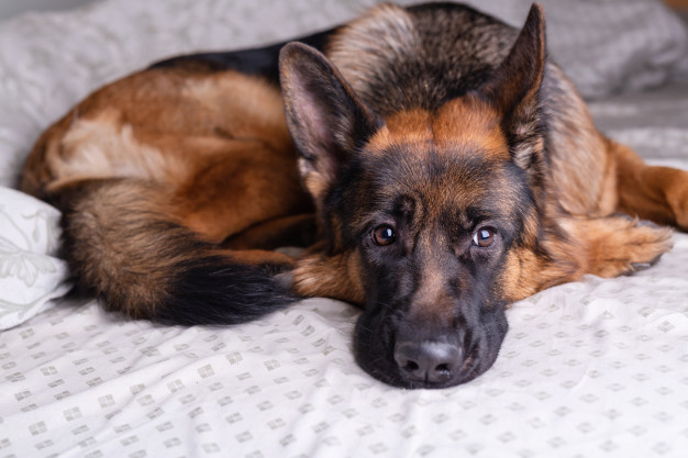 Separation anxiety in older Dogs