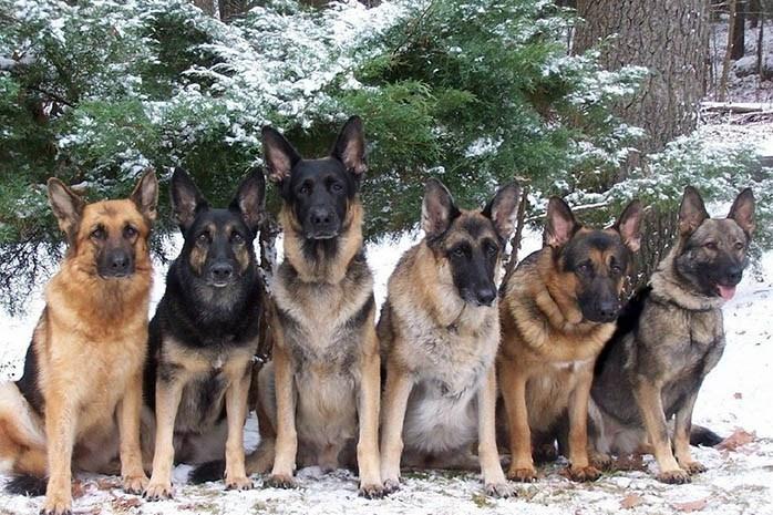 colors of German Shepherd Dogs