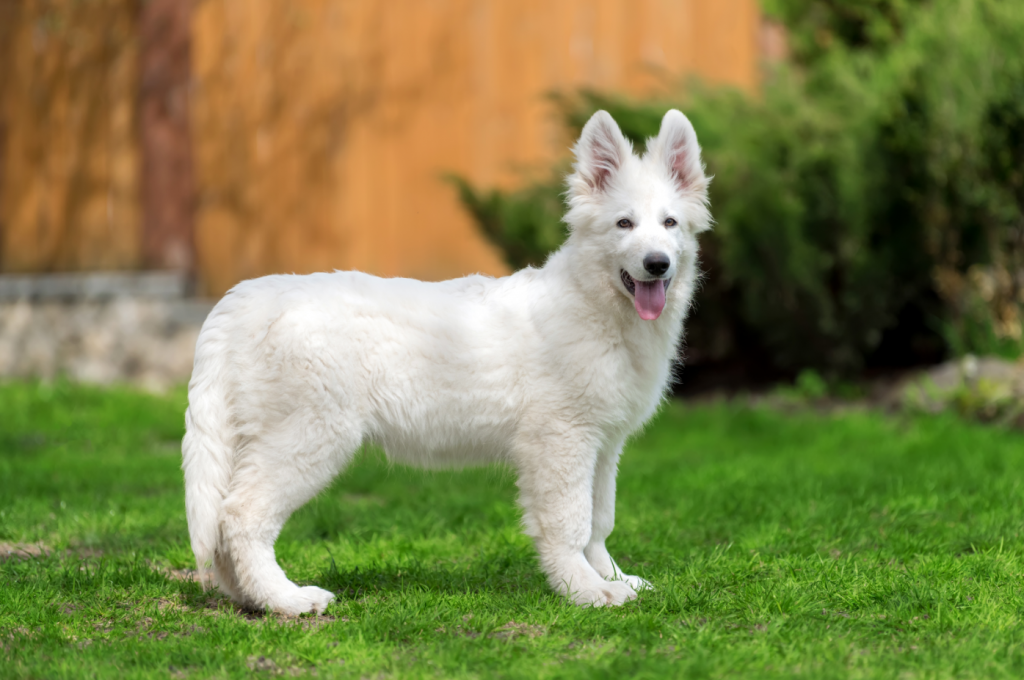 Standard Pose of the White German Shepherd Puppy