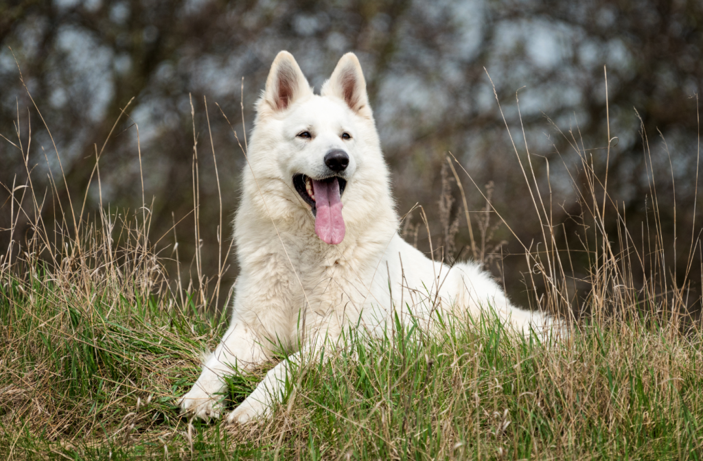 Standard Pose of the White German Shepherd 6 months old