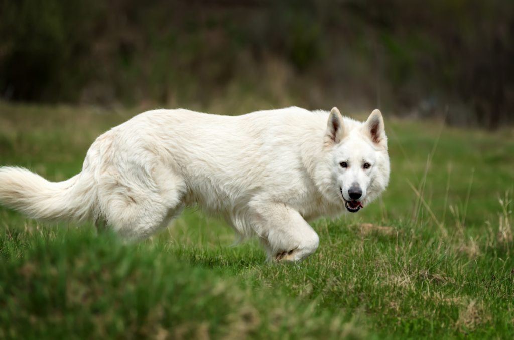 White German Shepherds Aggressive?