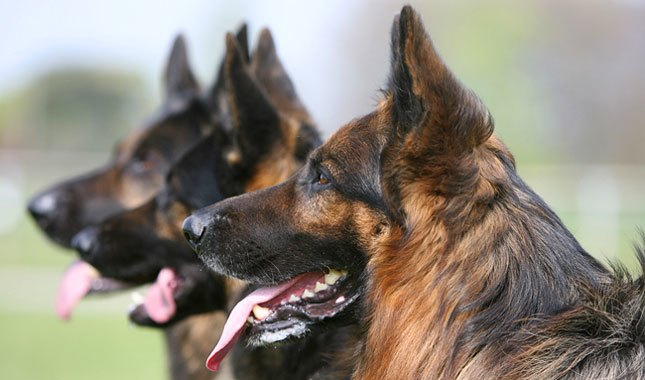 Dental Problems in German Shepherds