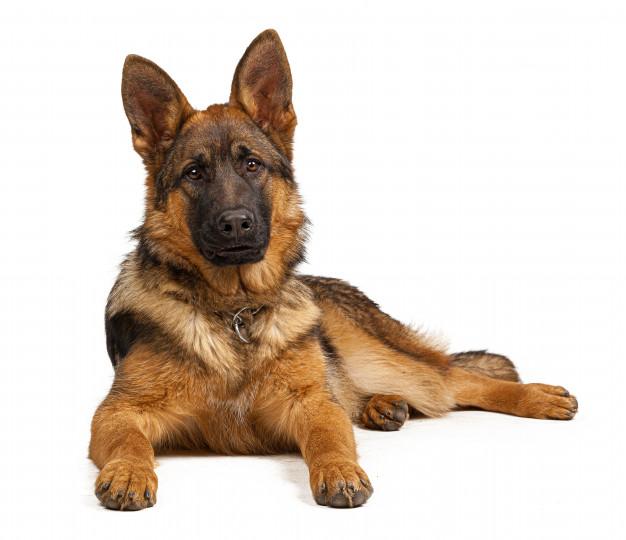 Grown-Up  German Shepherd Dog