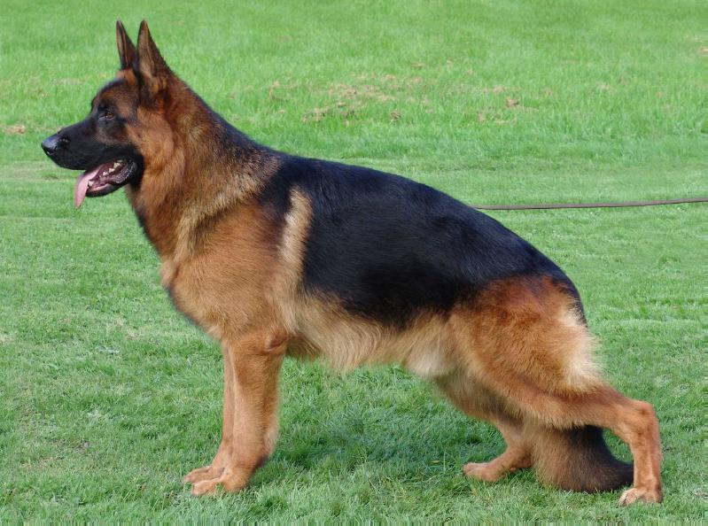 German shepherd breed standard