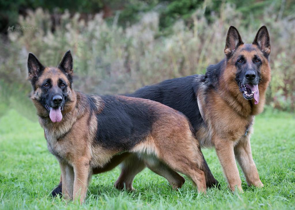 German shepherd Traits and Behaviors