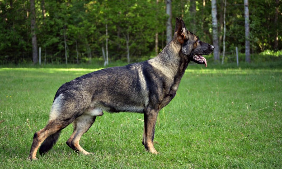 American German Shepherd vs. European German Shepherd