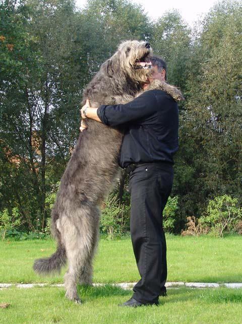 Irish WolfHound and German shepherd Mix