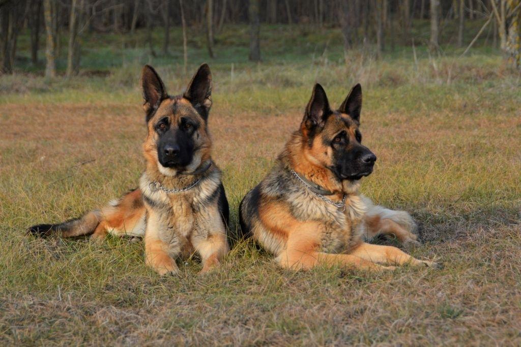 german shepherd guarding