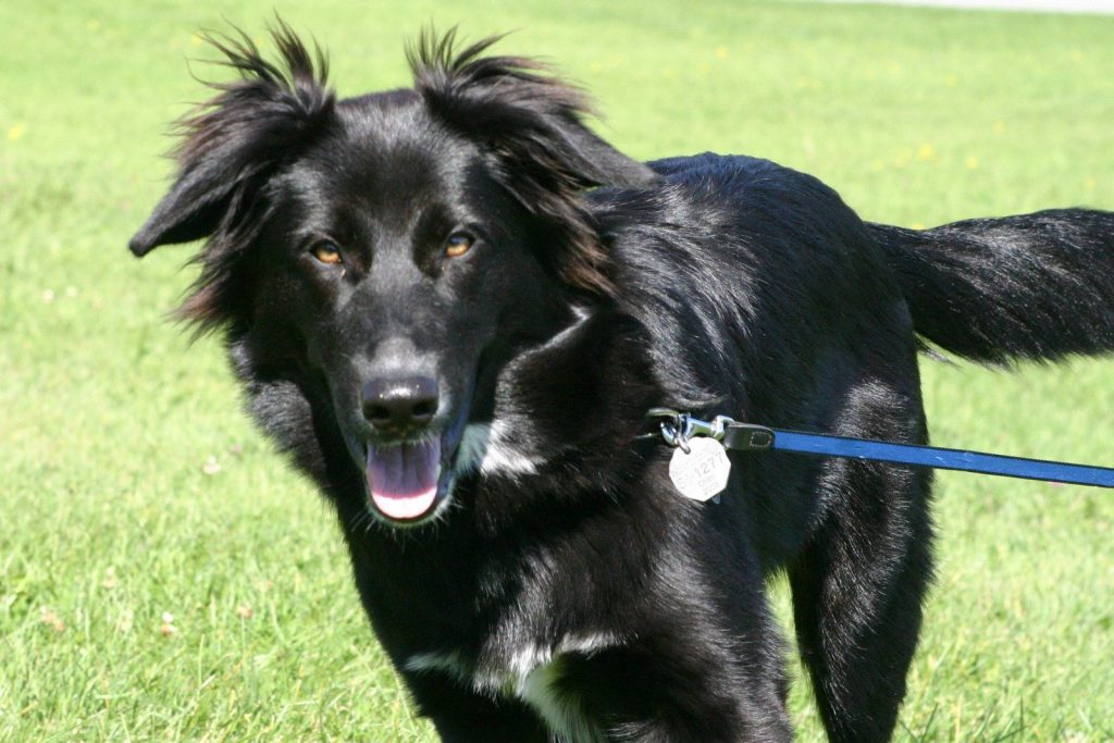Black German Shepherd Golden Retriever Mix
