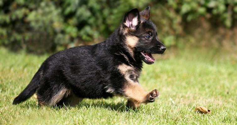 best treats for german shepherd