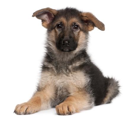 german shepherd ears