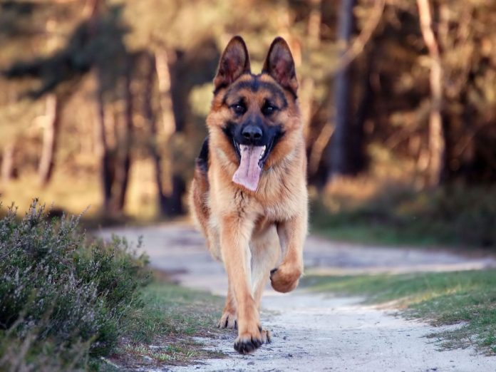 German shepherd Protection