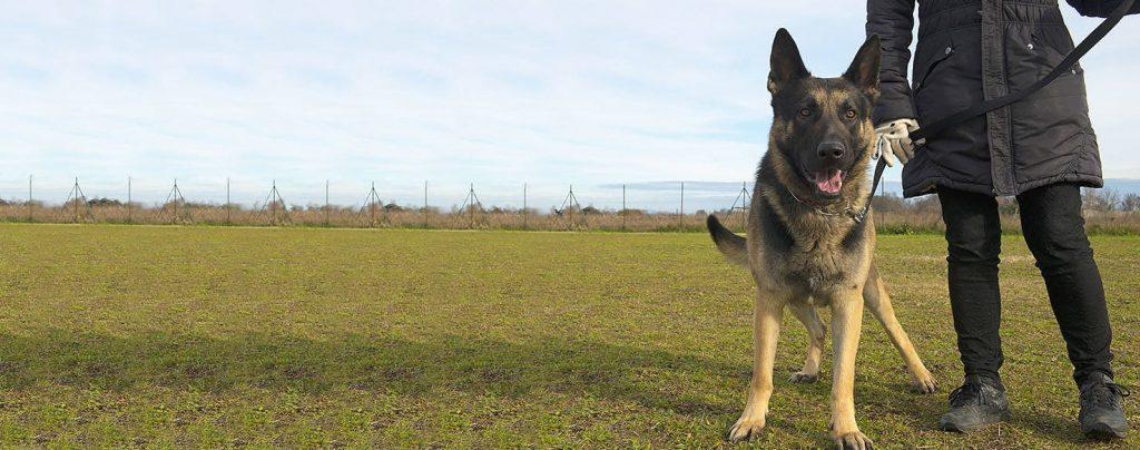 Possessive German Shepherd Dog
