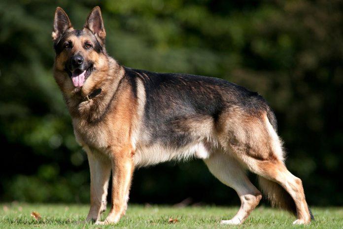 female german shepherd