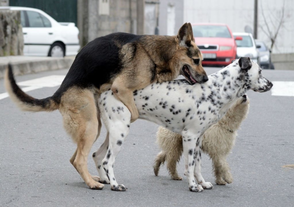 male dog mating