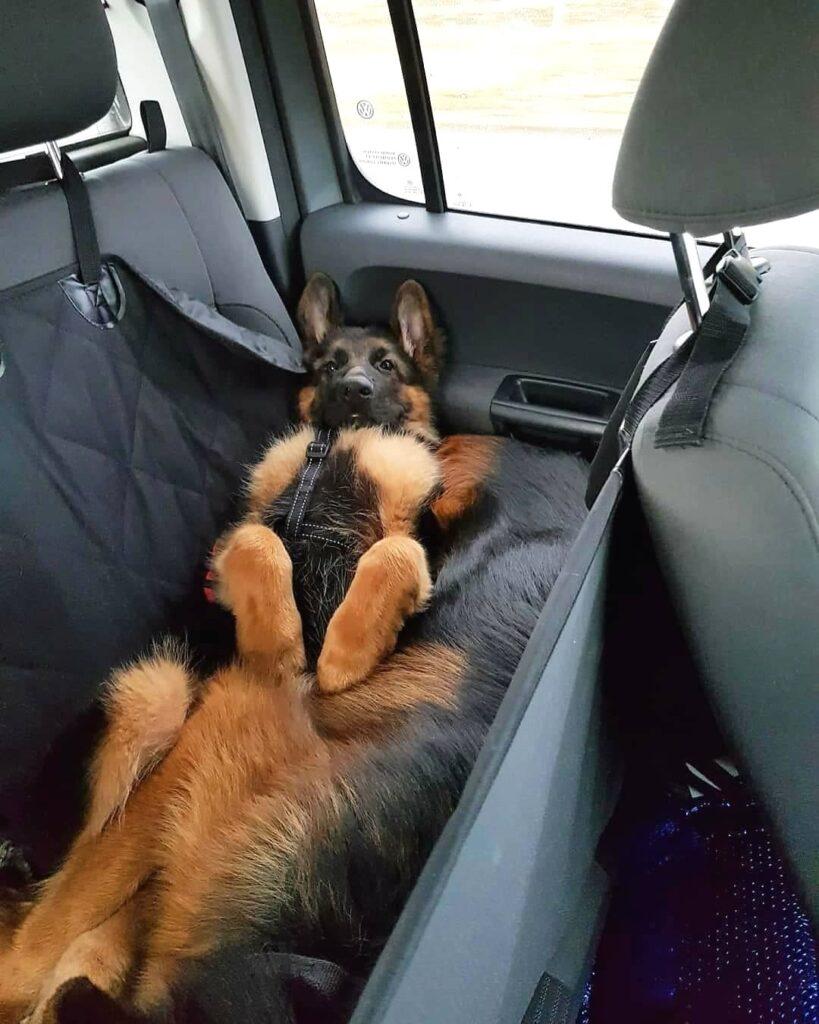 German Shepherd in car summer