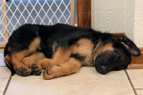 german shepherd puppy sleeping