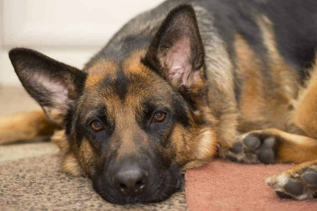 German Shepherd health check