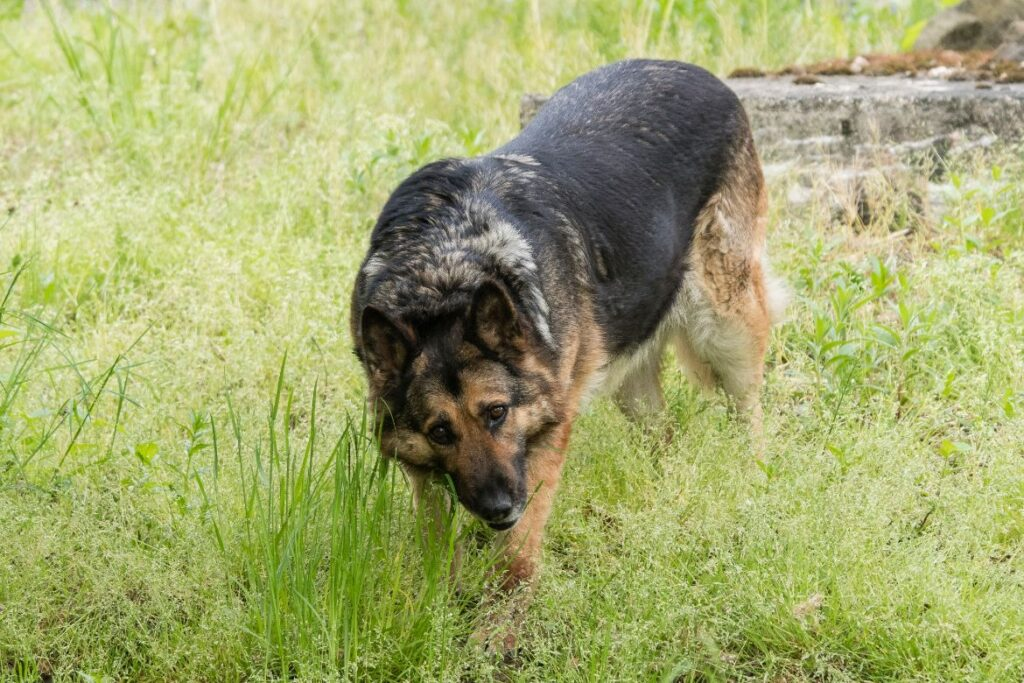 Indigestion in Dogs