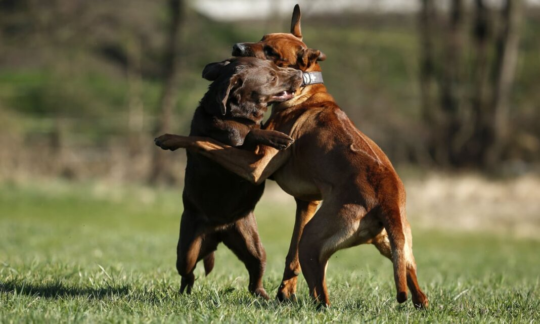 Dogs Fight