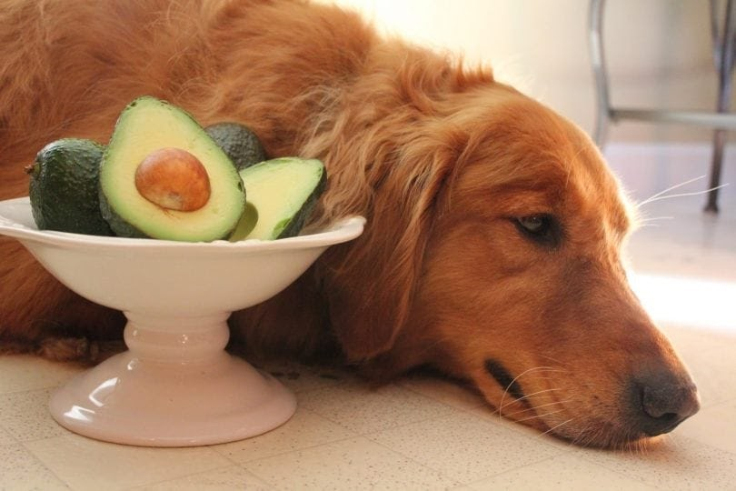 Can Dogs Eat Avocado