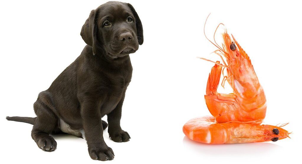 Can dog Eat Shrimp