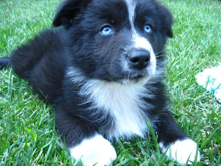 Black Australian shepherd puppy