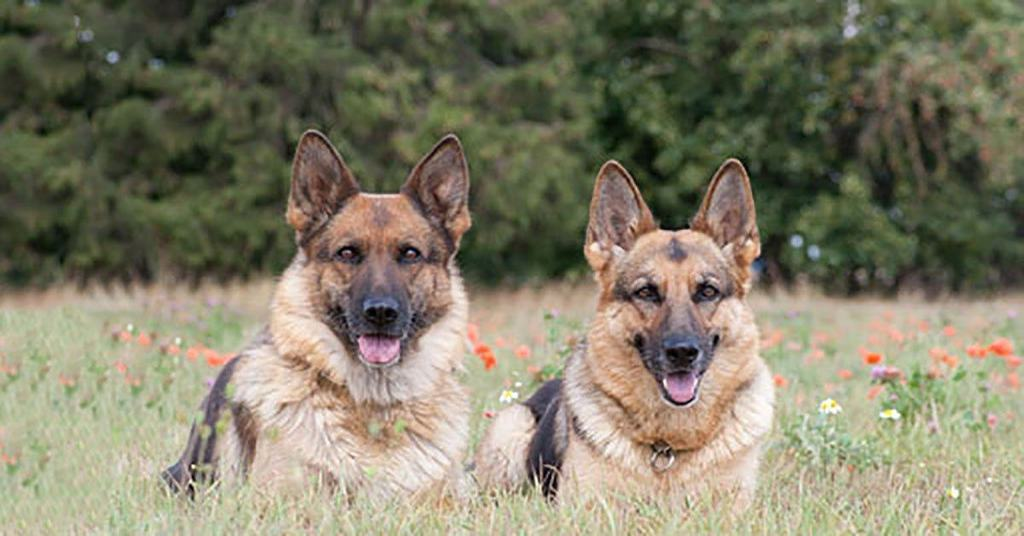 Male German Shepherd vs. Female German Shepherd