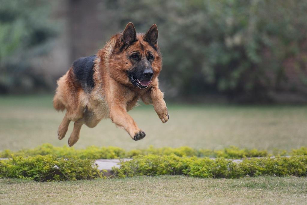 German shepherd run