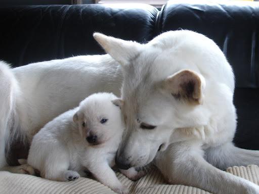 Newborn White German Shepherd Puppy with mother