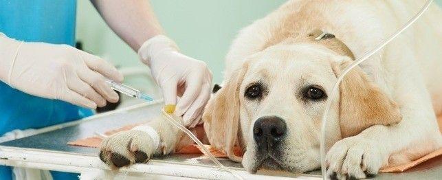 Hemangiosarcoma in dogs treatment