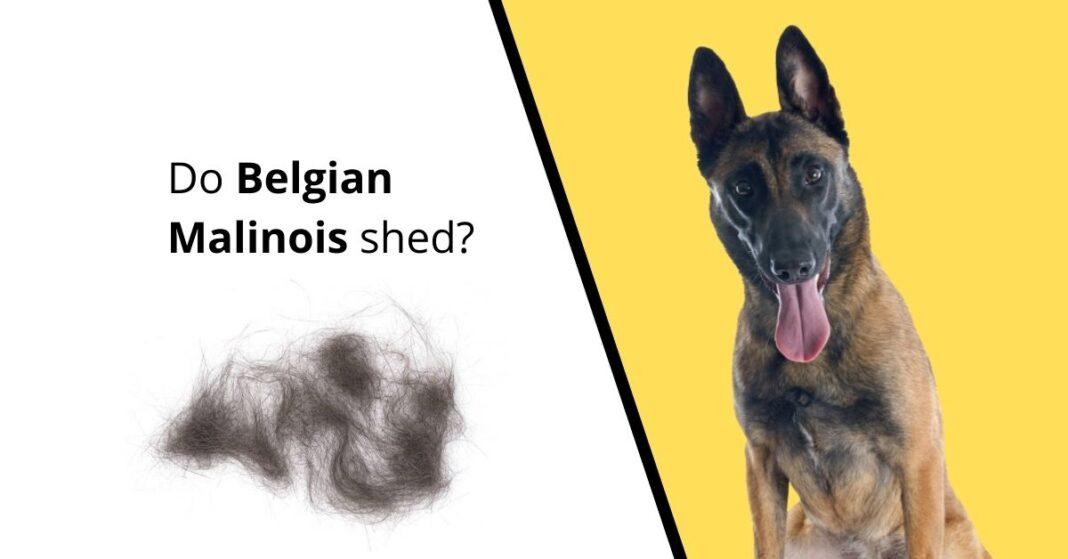 Do Belgian Malinois shed