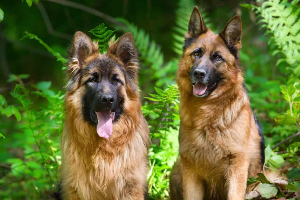 Short Haired German Shepherd vs. Long Haired German shepherd