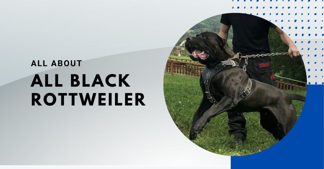 all black rottweiler
