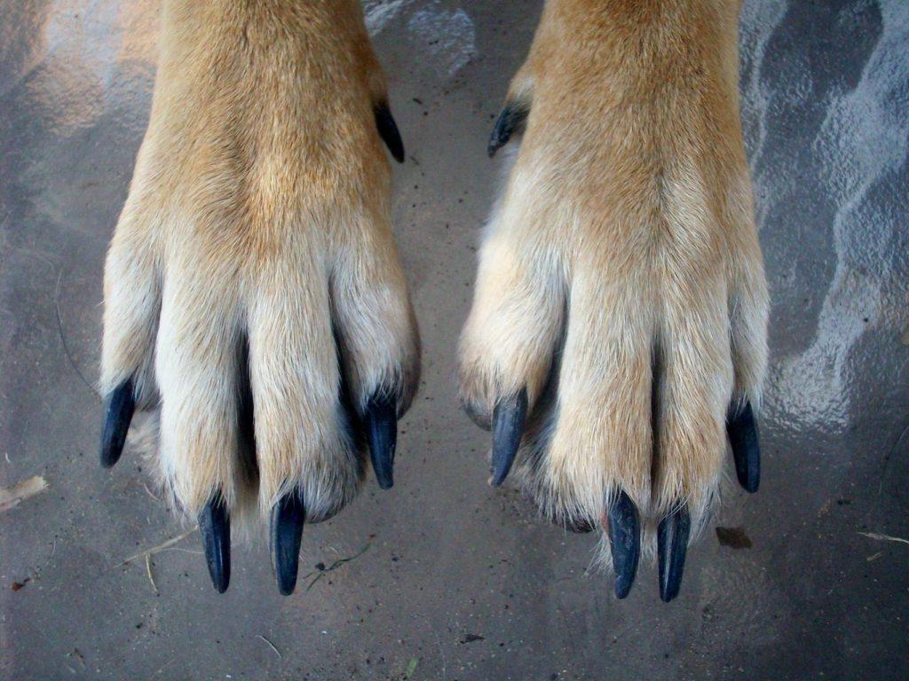 German Shepherd Webbed Feet